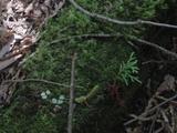 木曽檜 倒木更新