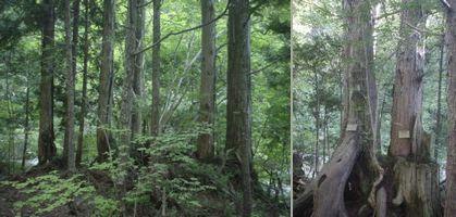檜の天然林